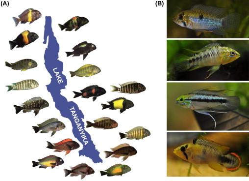 Natural their cichlids pdf in malawi habitat