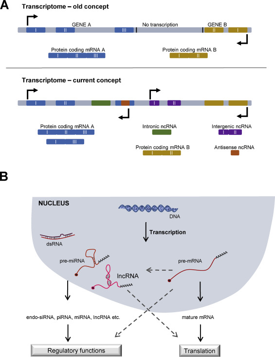 cncRNAs: Bi-functional RNAs with protein coding and non