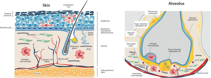 Tissue-specific contribution of macrophages to wound healing