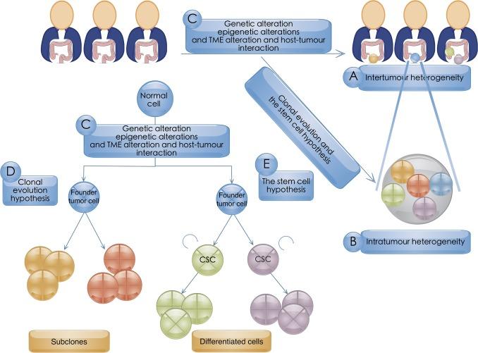 colon cancer genetic heterogeneity orașul papiloamelor