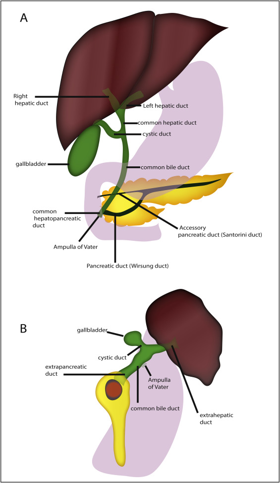 On The Development Of The Hepatopancreatic Ductal System Sciencedirect