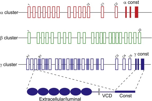 Clustered protocadherin trafficking - ScienceDirect