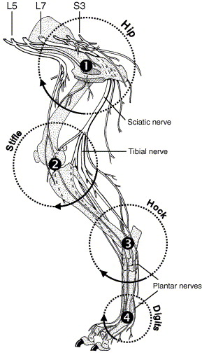 Strain and excursion of the sciatic nerve in the dog: Biomechanical ...