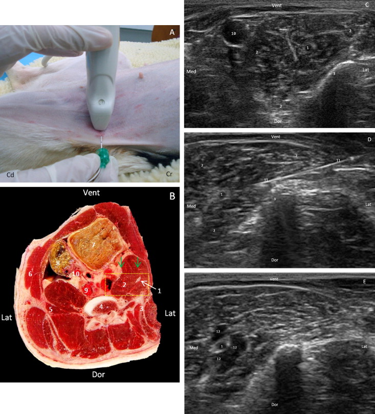 Ventral ultrasound-guided suprainguinal approach to block the ...