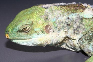 papillomas lizards sensul helmintologiei