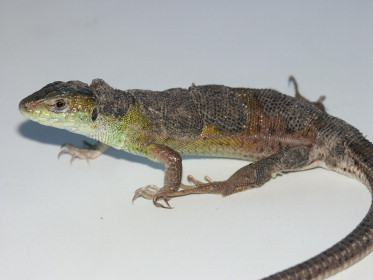 papillomas lizards