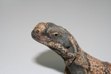 papillomas lizards hpv warts face treatment