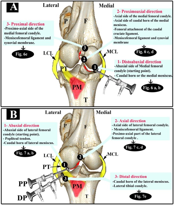 Systematic arthroscopic investigation of the bovine stifle joint ...
