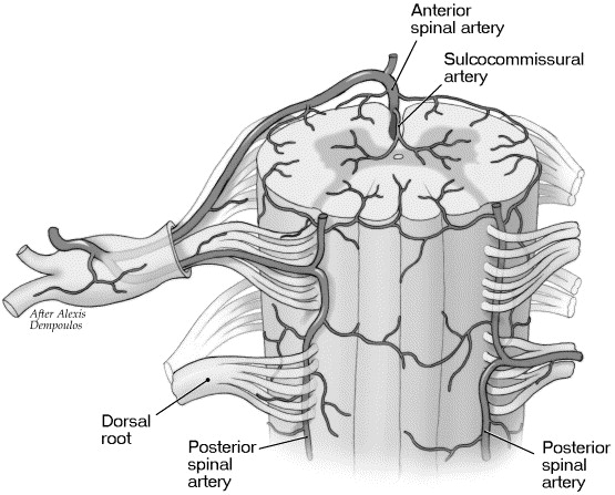 Vascular anatomy of the spine - ScienceDirect