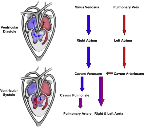 Normal reptile heart morphology and function sciencedirect diagram of blood flow through a noncrocodlian reptile heart no intracardiac shunting is shown blood normally flows among the ventricular compartments as ccuart Choice Image