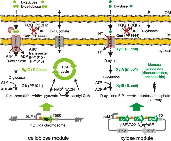 Refactoring the upper sugar metabolism of Pseudomonas putida