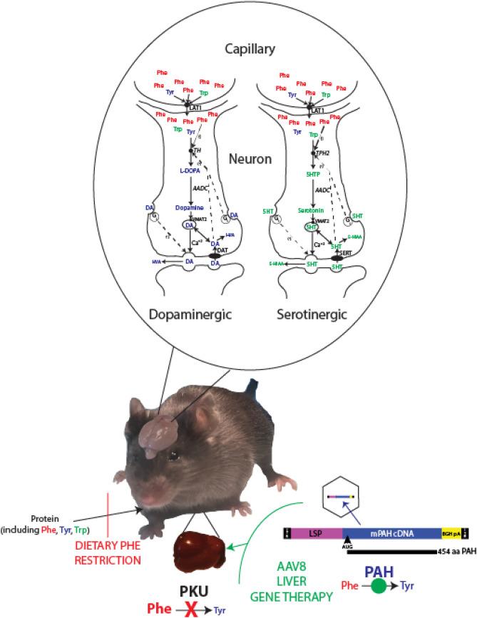 Blood phenylalanine reduction corrects CNS dopamine and