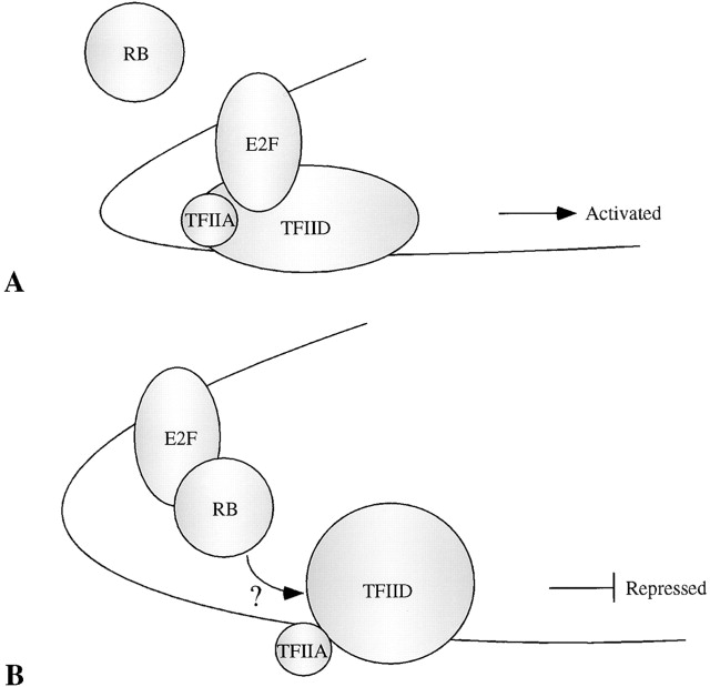 Mechanism Of Transcriptional Repression Of E2f By The Retinoblastoma