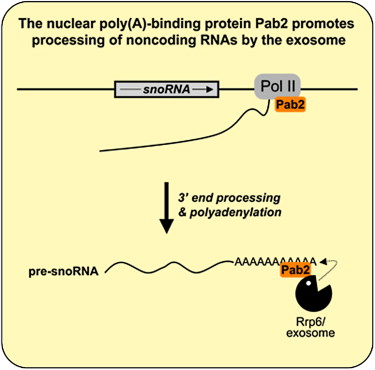 The Nuclear Poly A Binding Protein Interacts With The Exosome To