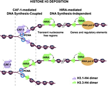 Dynamics of Histone H3 Deposition In Vivo Reveal a