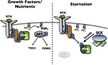 p85α SH2 Domain Phosphorylation by IKK Promotes Feedback Inhibition