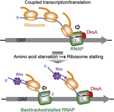 1 s2.0 S1097276514001191 fx1 dksa guards elongating rna polymerase against ribosome stalling