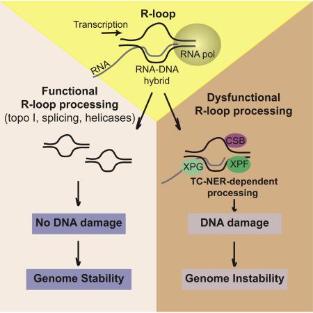 Transcription-Coupled Nucleotide Excision Repair Factors Promote R