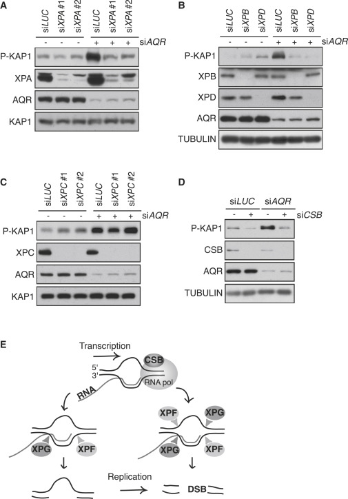 Transcription-Coupled Nucleotide Excision Repair Factors Promote R