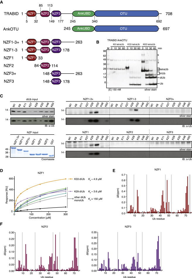 assembly and specific recognition of k29 and k33 linked rh sciencedirect com