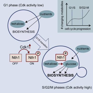The Yeast Cyclin-Dependent Kinase Routes Carbon Fluxes to Fuel Cell