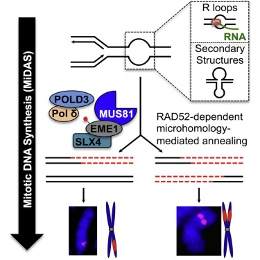 RAD52 Facilitates Mitotic DNA Synthesis Following Replication Stress