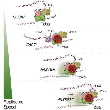 How The Eukaryotic Replisome Achieves Rapid And Efficient Dna Replication Sciencedirect