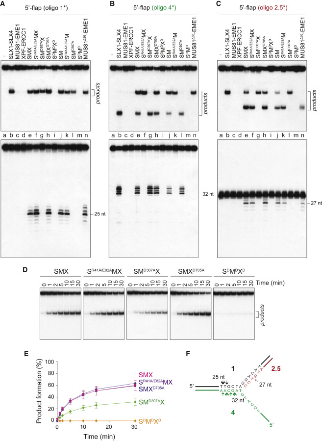 The SMX DNA Repair Tri-nuclease - ScienceDirect
