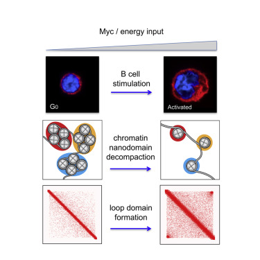 Myc Regulates Chromatin Decompaction and Nuclear Architecture during