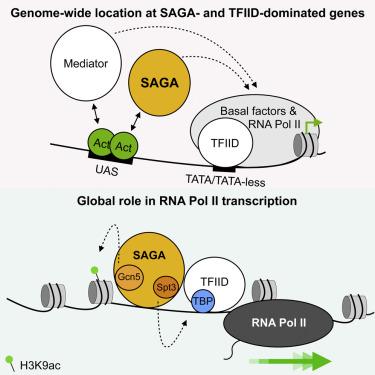 Saga Is A General Cofactor For Rna Polymerase Ii