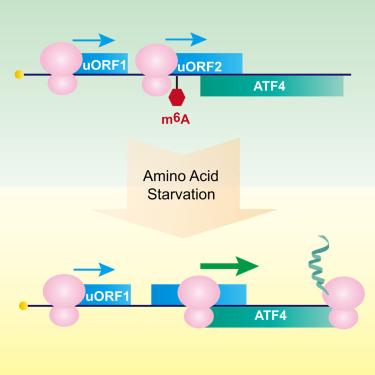 N6-Methyladenosine Guides mRNA Alternative Translation