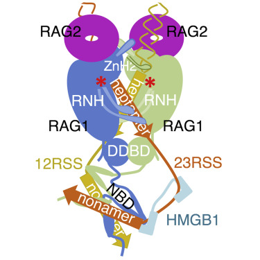 Cracking the DNA Code for V(D)J Recombination - ScienceDirect