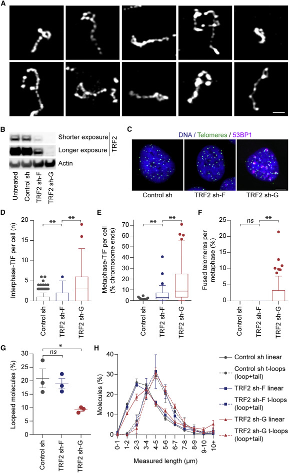 Telomere Loop Dynamics in Chromosome End Protection