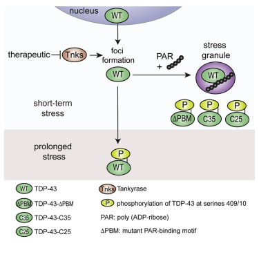 Poly(ADP-Ribose) Prevents Pathological Phase Separation of