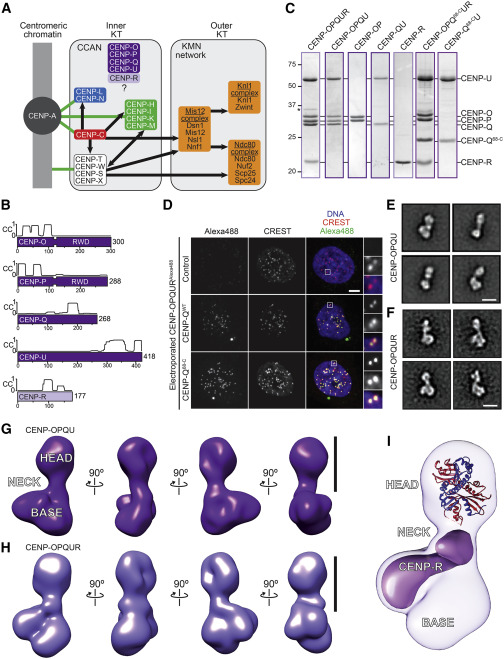 Reconstitution of a 26-Subunit Human Kinetochore Reveals Cooperative