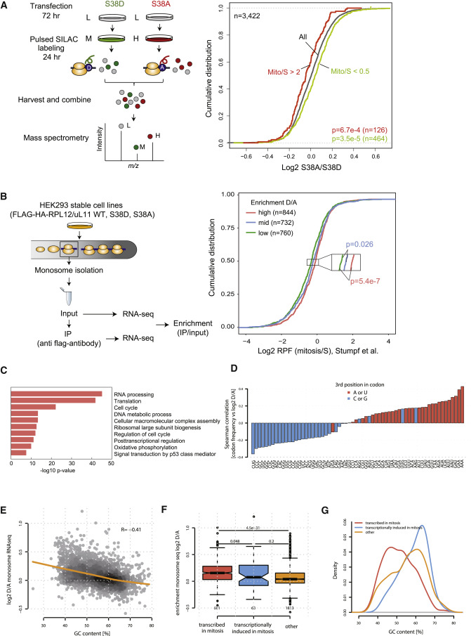 Phosphorylation of the Ribosomal Protein RPL12/uL11 Affects