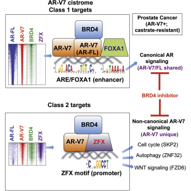 ZFX Mediates Non-canonical Oncogenic Functions of the