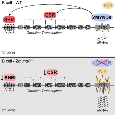 The Chromatin Reader ZMYND8 Regulates Igh Enhancers to Promote  Immunoglobulin Class Switch Recombination - ScienceDirect