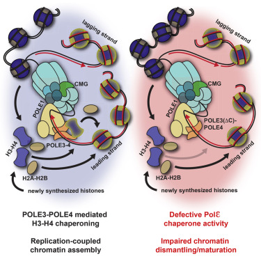 POLE3-POLE4 Is a Histone H3-H4 Chaperone that Maintains