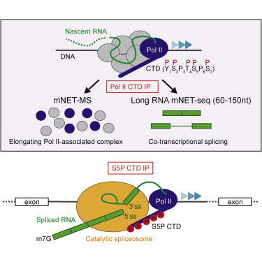 rna polymerase ii phosphorylated on ctd serine 5 interacts with the Trp Operon Diagram