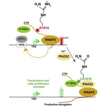 Arginine Citrullination at the C-Terminal Domain Controls RNA