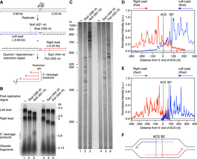 Mechanism Of Bidirectional Leading Strand Synthesis Establishment At Eukaryotic Dna Replication Origins Sciencedirect