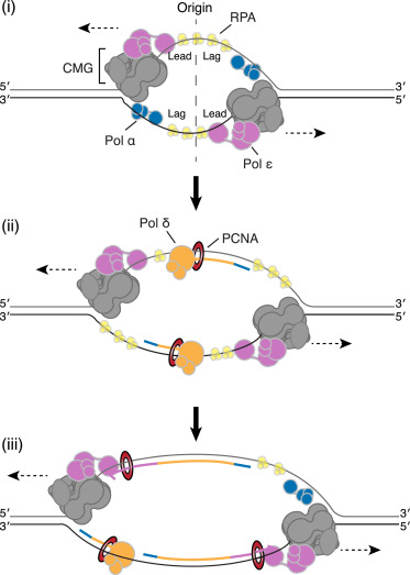 Mechanism Of Bidirectional Leading Strand Synthesis Establishment At Eukaryotic Dna Replication Origins Sciencedirect