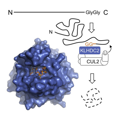 Recognition of the Diglycine C-End Degron by CRL2KLHDC2 Ubiquitin Ligase -  ScienceDirect