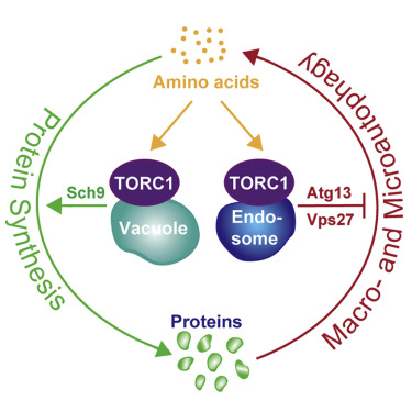 Spatially Distinct Pools of TORC1 Balance Protein