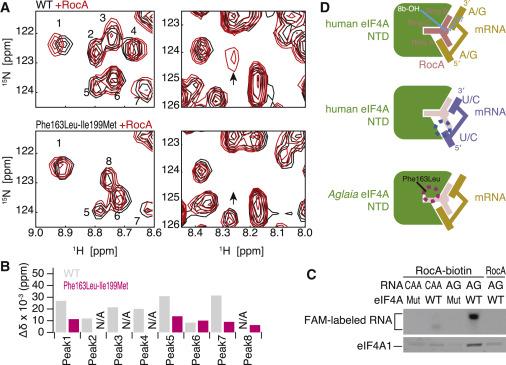 The Translation Inhibitor Rocaglamide Targets a Bimolecular