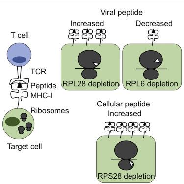 Ribosomal Proteins Regulate MHC Class I Peptide Generation