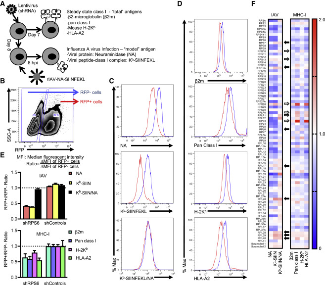 Ribosomal Proteins Regulate MHC Class I Peptide Generation for