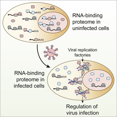 System-wide Profiling of RNA-Binding Proteins Uncovers Key ...
