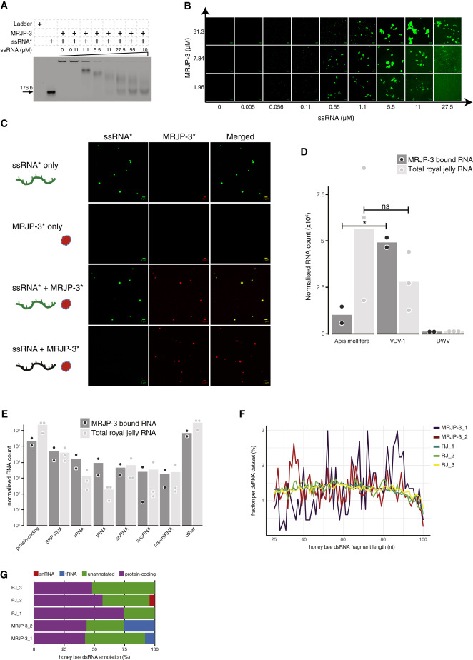 A Secreted RNA Binding Protein Forms RNA-Stabilizing